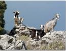 Goats on Pantokrator Mountain near Old-Sinies